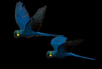 Lear's_Macaw_Anodorhynchus_leari